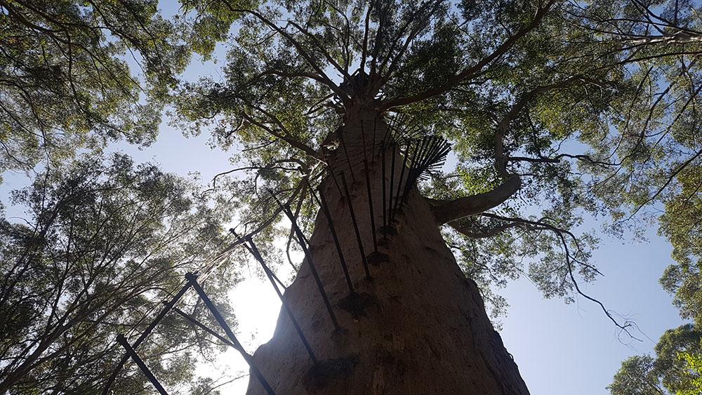 Gloucester Tree 2